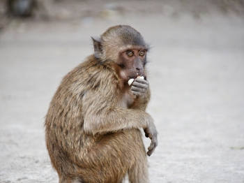 Small brown monkey eating peanuts and looking around